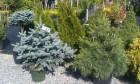 Хвойные деревья и кусты в закрытой корневой системе