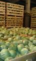 Продам капусту зимних сортов от производителя Зенон, Наватор, Лексико