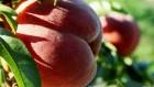 Продам саженцы персика и абрикоса