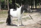 карликовый пони Ромео