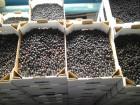 Продам черенки чорной смородины