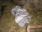 Поросят венгерской пуховой мангалицы.