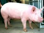Продам свиньи живым весом