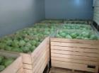 Продам капусту белокачанную, пекинскую от 5 т