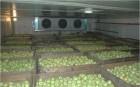 ѕродам яблоко оптом из холодильника  (от 5 т)