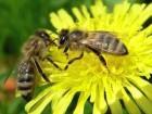 Ѕджоломатки арпатки - ѕчеломатки арпатки