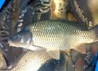Продам рыбу живую карп корас толстолоб