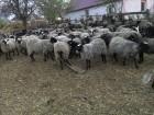 продам стадо овец романовская порода 240 голов