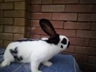 продам крольчат породы Немецкий пестрый великан(Срокач)