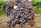 Продаём саженцы винограда