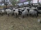 продам овцы романовская порода 550 голов