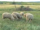 ѕродам овец, ¤гн¤т, баранов цыгайской породы. —триженные