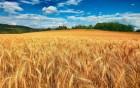 ѕшеница, ¤чмень на экспорт