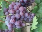 ѕродам ¤годы винограда оптом и в розницу