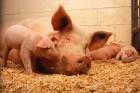 Продам свинокомплекс