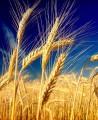 Куплю зерновідходи Пшениця, Ячмінь