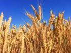 Закупаем пшеницу.