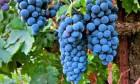 уплю виноград оптом