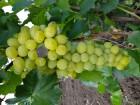 Продам столовый виноград сортов Аркадия, Лора, Натали