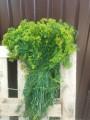 Продам Зелень на соления