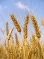 Покупаем Пшеница с сажкой