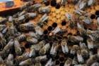 продам 150-200 бджолопакетів