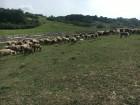 продам овцы романовская порода