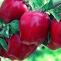 Яблука Гала, симеренко, Голден, Флоріна та ріхард