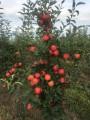 ѕродам яблука! —орт - √ала!!!