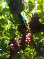 Продам виноград Изабелла, Лидия