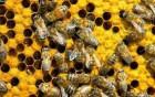 Продам 10 бджолосімей
