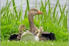 Комбикорм для водоплавных птиц