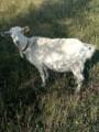 Продам 4-рычну козу