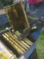 Пчелопакеты с племенных пасек карпатской породы от производителя