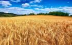 Крупно-оптовая закупка пшеницы 3-го класса. Возможен самовывоз.