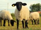 Продаються вівці, барани, ягнята породи Суффолк, Прекос.