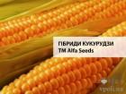 Семена кукурузы Фруктис производитель Альфа семена - ALFA Seeds