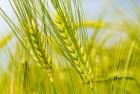 Гербицид на пшеницу, ячмень - Гранстар, Прима, Хармони, Агент.