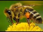 продам пчёл и маток кавказской породы