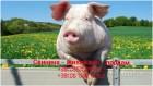 Свинина - живой вес продам