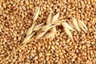 Зерно Пшеницы Кукурузы закупаем дорого