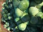 Продам капусту «АГРЕСОР» якісна