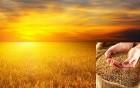 Куплю пшеницу 2-6 класс, дорого!!!