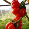 Продам Семена томатов (помидор)