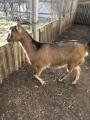 Срочно и недорого продам коз!!!