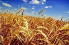 Закупаем зерновые по всей Украине