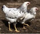 Курчата підрощені місячні «Адлер сріблястий»