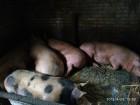 Продам свиней живым весом Днепр