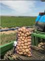 Продаммолодой картофель