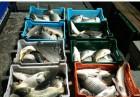 продам рыбу живую